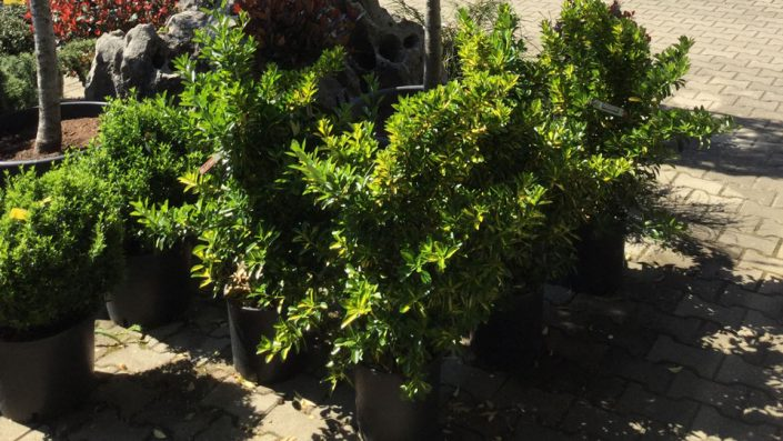 Gartensträucher Baumschule Karl